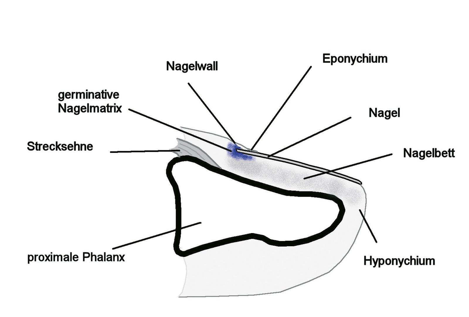 Abb. 7-1: Anatomie der Fingerspitze